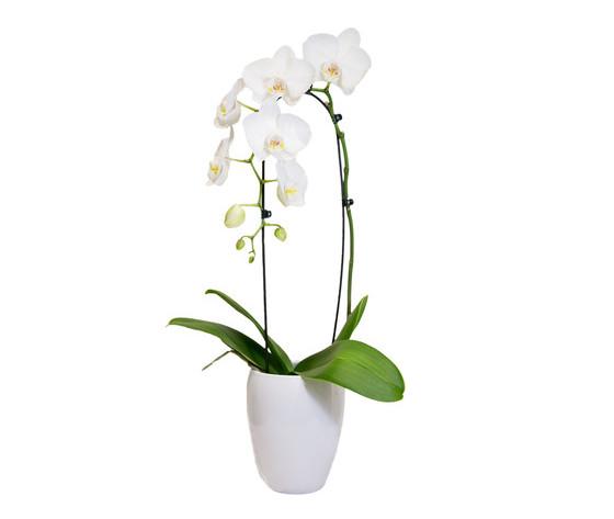 Orchidea Phalenopsis con Vaso