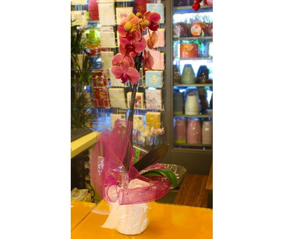 Orchidea Phalenopsis con cache pot