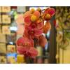 Orchidea con cache pot 2