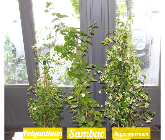 3 Gelsomini ( Sambac, Polyanthum, Rhyncospernum) Offerta