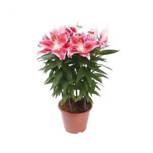 Lilium Orchidea