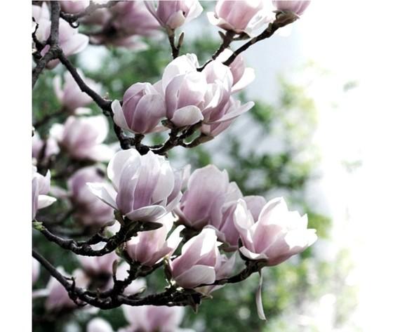 Magnolia and blossom