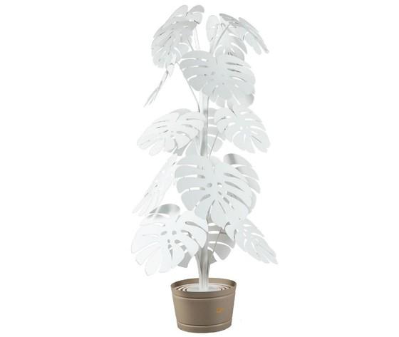 Monstera bianca piantana