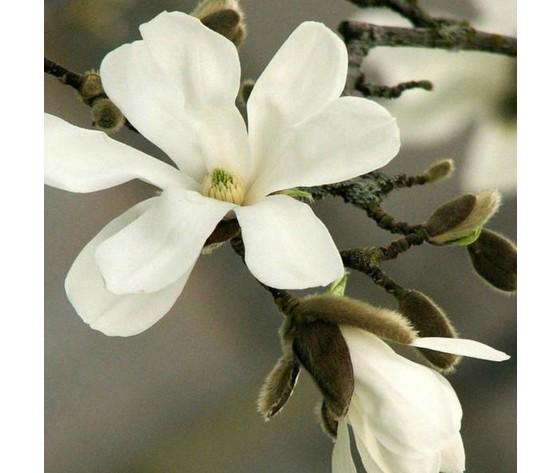 Magnolia woodwick fiore