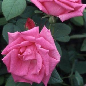 Rosa Zephyrine Drouhin