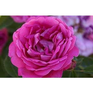 Antica Rosa dell'Isola di Chio