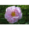 Rosa alba celestial