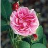Rosa koenigin von danemark
