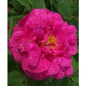 Rosa Marbrée