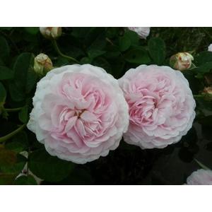 Rosa Maiden's Blush (Rosa Alba Incarnata)