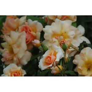 Rosa Crépuscule