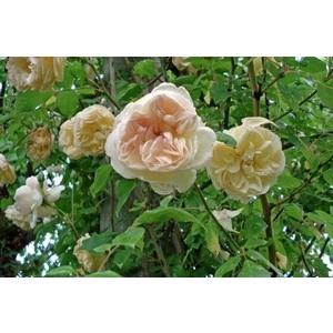 Rosa Desprez à Fleurs Jaunes