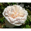Rosa mme alfred carri%c3%a9re