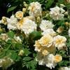 Rosa alister stella gray
