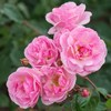 Rosa nathalie nypels