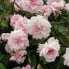 Rosa c%c3%a9cile brunner