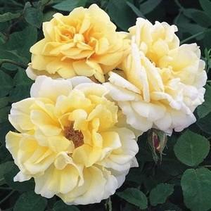 Rosa Easlea's Golden Rambler