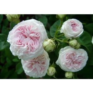 Rosa Felicité Parmentier