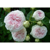 Rosa felicit%c3%a9 parmentier