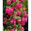 Rosa alexander girault