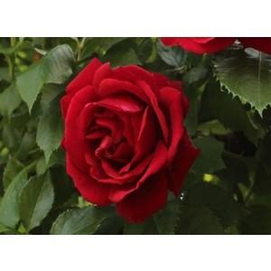 Rosa Blaze Superior