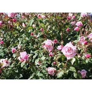 Rosa Blossomtime