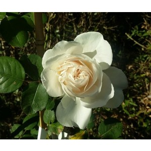 Rosa Sombreuil (Colonial White)