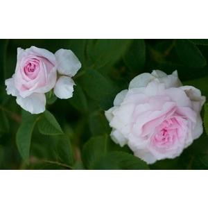 Rosa Chloris