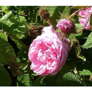 Rosa Old Moss