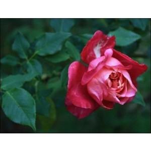Rosa Général Gallieni