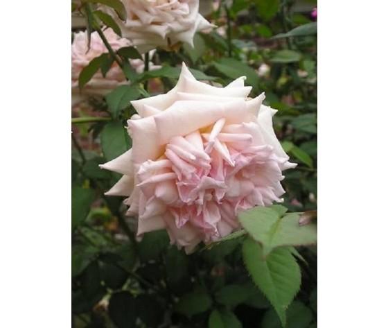 Rosa William R. Smith