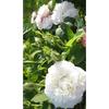 Rosa blanche de belgique