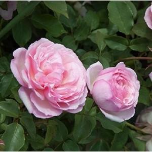 Rosa Duchesse de Brabant