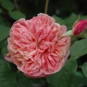 Rosa Archiduc Joseph