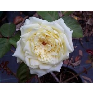 Rosa Étoile de Lyon