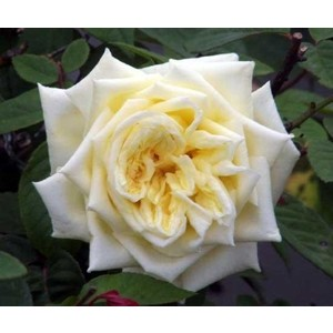 Rosa Perle des Jardins
