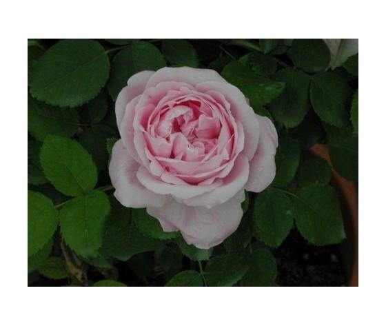Rosa Baroness Rotschild