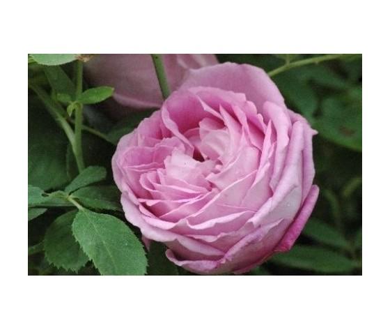 Rosa Mrs John Laing