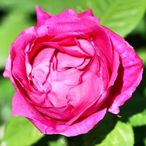 Rosa Paul Neyron