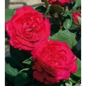 Rosa Lord Raglan