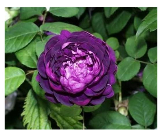 Rosa Cardinal de Richelieu