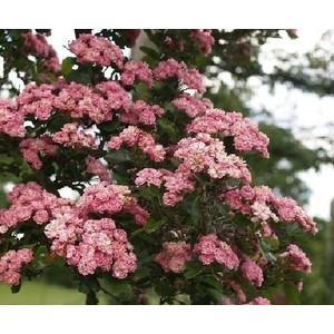 La Banksiae Rosea