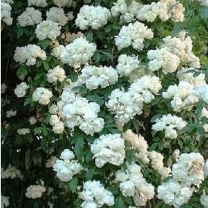 Rosa Purezza