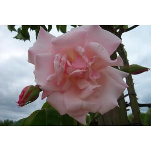 Rosa Belle Portugaise