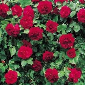 Rosa Étoile de Hollande
