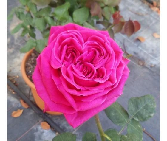 Rosa Gloria di Roma
