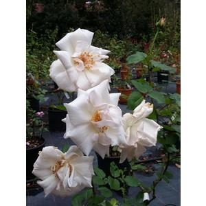 Rosa Ophelia