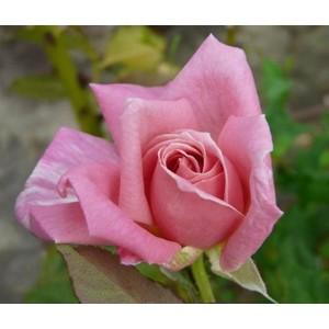 Rosa Eterna Giovinezza