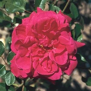 Rosa Souvenir de Claudius Denoyel