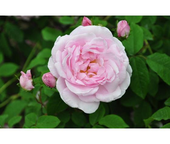 Rosa Duchessa d'Angoulème